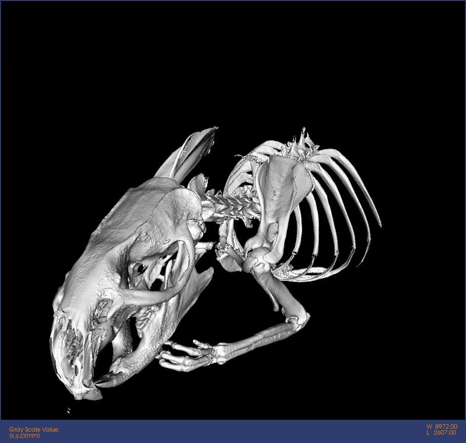 27-Rat-Micro-CT