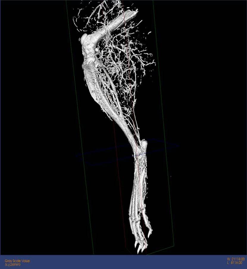 28-Micro-CT-Leg